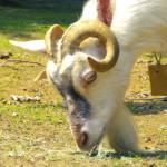 ノラと皇女と野良猫ハート 第6話 『実写のヤギ!』感想